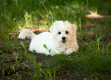 Beautiful bichon havanese puppy on a forest Royalty Free Stock Image