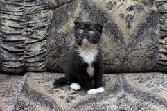 Beautiful bicolor Scottish kitten sitting on the couch Stock Photos
