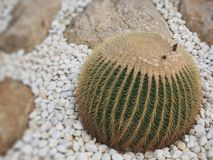 The big ball cactus tree in the garden royalty free stock image