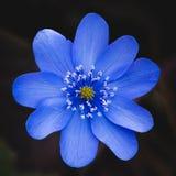 A beautiful big blue bloom of a liver-leaf Stock Photo