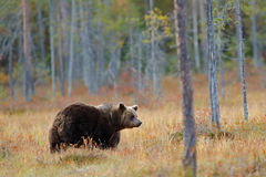 Beautiful big brown bear walking around lake with autumn colours. Dangerous animal in nature forest and meadow habitat. Wildlife s Royalty Free Stock Image