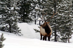 Beautiful big bull elk in snowy Yellowstone Park Stock Photos
