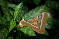 Beautiful big butterfly, Giant Atlas Moth, Attacus atlas, in habitat, India. Wildlife in Asia. Largest butterfly around the world. Beautiful big butterfly Royalty Free Stock Photo