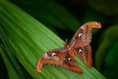 Beautiful big butterfly, Giant Atlas Moth, Attacus atlas, insect in green nature habitat, India, Asia. Beautiful big butterfly, Giant Atlas Moth, Attacus atlas stock photo
