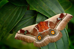 Beautiful big butterfly Gonimbrasia belina is a species of moth found in much of Southern Africa, whose large edible caterpillar, Royalty Free Stock Image