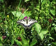 Beautiful big butterfly among the greens royalty free stock image