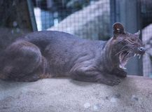 Beautiful big cat fossa wildlife yawn. Yawning cute lovely tired animal funny sweet Stock Photography