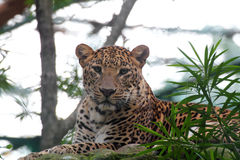 Beautiful big cat leopard resting in a wildlife national park Royalty Free Stock Photography