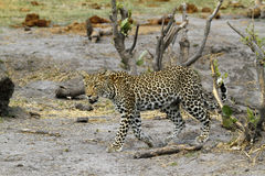 Beautiful Big Cat. Leopards are very elusive cats, they blend in well with their surroundings Royalty Free Stock Images