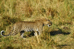 Beautiful Big Cat. Leopards are very elusive cats, they blend in well with their surroundings Royalty Free Stock Image