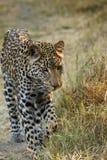 Beautiful Big Cat Royalty Free Stock Photo