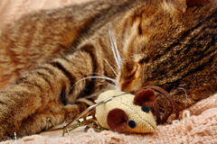 Beautiful big cat slept with a toy mouse Stock Photos
