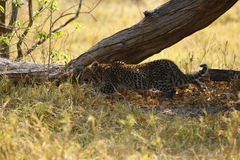 Beautiful Big Cat, tiny leopard cub hiding Royalty Free Stock Photo