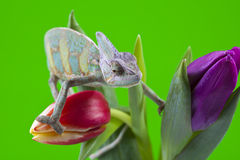 Beautiful big chameleon Royalty Free Stock Photography