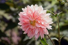 Beautiful big colorful dahlia in my garden Stock Image