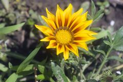 Beautiful big colorful gazania in my garden stock photos