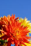 Beautiful Big Dahlia Flowers Royalty Free Stock Photos