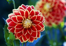 Beautiful big dahlia Stock Images