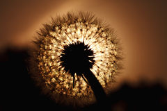 Beautiful big dandelion silhouette in the sunset light Stock Photos
