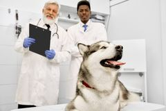 Two veterinarians posing in clinic behind malamute. royalty free stock photo