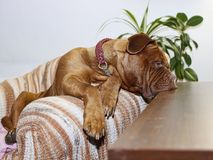 Beautiful Big Dog - Dogue de Bordeaux - French Mastiff stock photos