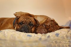Beautiful Big Dog - Dogue de Bordeaux - French Mastiff royalty free stock images