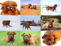 Beautiful Big Dog - Dogue de Bordeaux - French Mastiff royalty free stock image