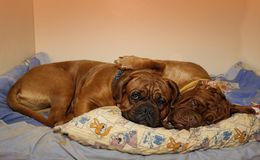 Beautiful Big Dog - Dogue de Bordeaux - French Mastiff royalty free stock photo
