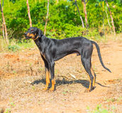 Beautiful  big dog standing on outdoor Royalty Free Stock Image