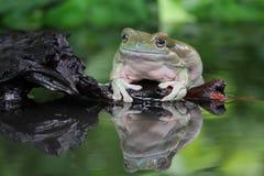 Tree fog, dumpy frog looking something on reflection. Beautiful big dumpy frog on reflection Stock Image