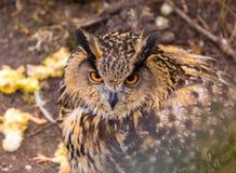 Beautiful big eagle-owl portrait. Predator bird portrait Royalty Free Stock Photography