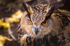 Beautiful big eagle-owl portrait. Predator bird portrait Stock Photography
