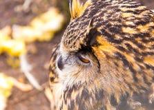 Beautiful big eagle-owl portrait. Predator bird portrait Stock Photo