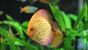 Beautiful big fish floating stock footage