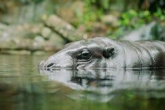 Beautiful big hippopotamus in water Stock Photography