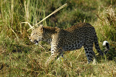 Beautiful Big Leopard Stock Photography