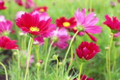 Beautiful Big Magenta Colors of Cosmos Flowers in garden Royalty Free Stock Photos