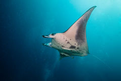 Beautiful big manta ray in deep blue ocean Stock Photo