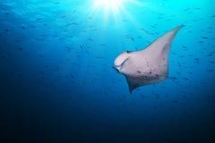 Beautiful big manta ray in deep blue ocean. Beautiful big manta ray floating in deep blue ocean, Indian ocean, Maldives royalty free stock photos
