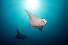 Beautiful big manta rays in deep blue ocean. Beautiful big manta rays floating in deep blue ocean, Indian ocean, Maldives royalty free stock photo