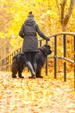 Beautiful big Newfoundland with the owner on an autumn walk in a Royalty Free Stock Photo