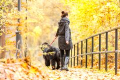 Beautiful big Newfoundland with the owner on an autumn walk in a Royalty Free Stock Photos