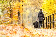 Beautiful big Newfoundland with the owner on an autumn walk in a Stock Image