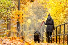 Beautiful big Newfoundland with the owner on an autumn walk in a Royalty Free Stock Image