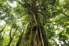 Beautiful big old tree from the jungles of Costa Rica Royalty Free Stock Images