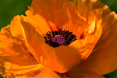 Beautiful ,big orange poppy flower Royalty Free Stock Photos