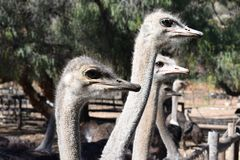 Beautiful portrait of big ostriches on a farm in Oudtshoorn, Little Karoo, in South Africa. Beautiful big ostrich on a farm in Oudtshoorn, Little Karoo, in South Royalty Free Stock Image