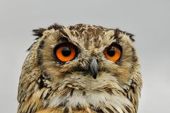 Beautiful and big owl. With orange eyes royalty free stock photos