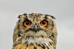 Beautiful and big owl. With orange eyes stock photography