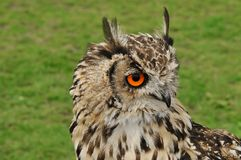 Beautiful and big owl. With orange eyes royalty free stock images